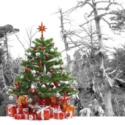 [만파식적] 한라산 구상나무