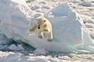 빙하 줄면 북극곰의 공격대상은 인간? 10건 중 6건이 포식성공격