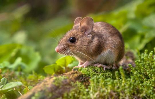 오스트레일리아 어느 섬의 야심찬 쥐 박멸 계획