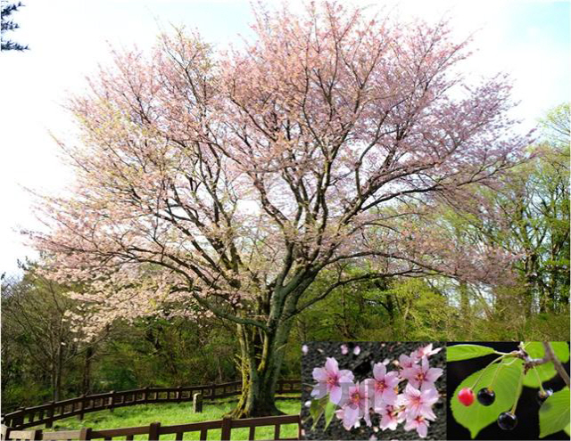 세계 최초 '제주도 자생 왕벚나무' 유전체 완전 해독