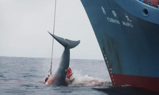 [백브리핑] 고래고기 즐기려고...日, 상업포경 재개한다
