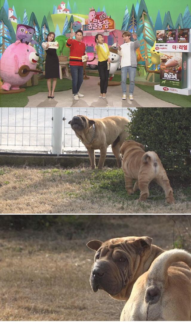'동물농장' 자식 앞에만 서면 작아지는 샤페이 아빠 '레오' 말 못할 속사정은?