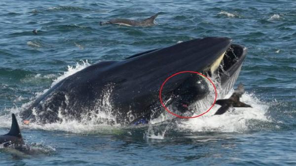 """고래가 먹어버린 다이빙 남성, """"1.8초 만에 다시 뱉어내"""" 구사일생으로 탈출"""