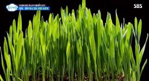 새싹보리분말 효능과 섭취 방법은? 풍부한 폴리코사놀 성분, 각종 질환 예방