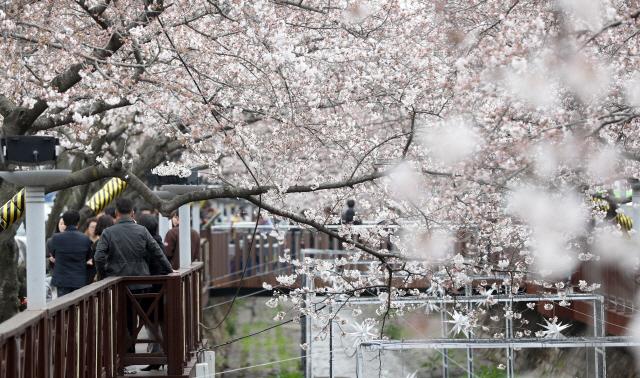 군항제 앞둔 진해 분홍빛 물결…서울 일대에도 벚꽃 개화