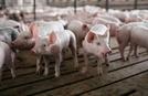 中 돼지고기 수입, 아프리카돼지열병에 지난달 63% 증가