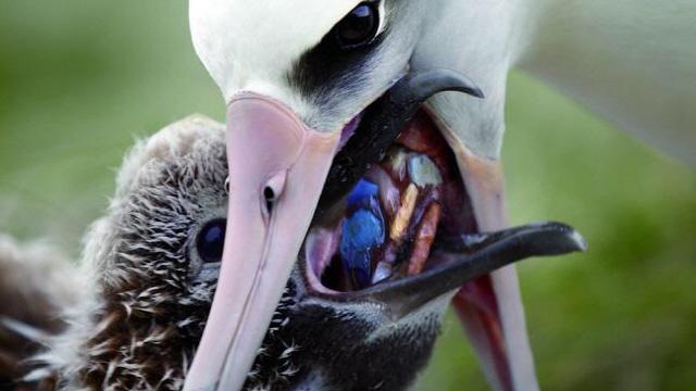 어미새는 아기새에게 플라스틱을 먹이고 있었다