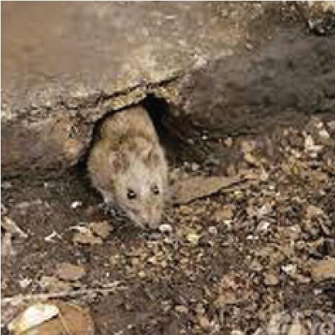 [만파식적] 뉴욕 '쥐 소탕작전'