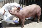 """""""걸리면 죽는다""""…아프리카돼지열병 발생에 마니커·하림 등 닭고기 관련주 폭등세"""