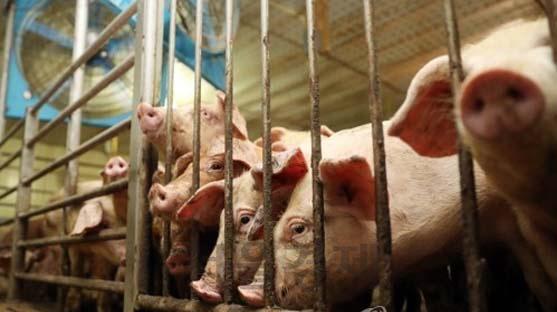 [속보] 경기도 파주서 아프리카돼지열병 확진…국내 첫 사례