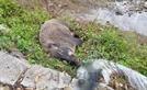 강원 철원서 발견된 멧돼지 폐사체 아프리카돼지열병 '양성'
