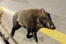 서울 가양대교에 야생 멧돼지 출몰해 사살…방역 당국 비상