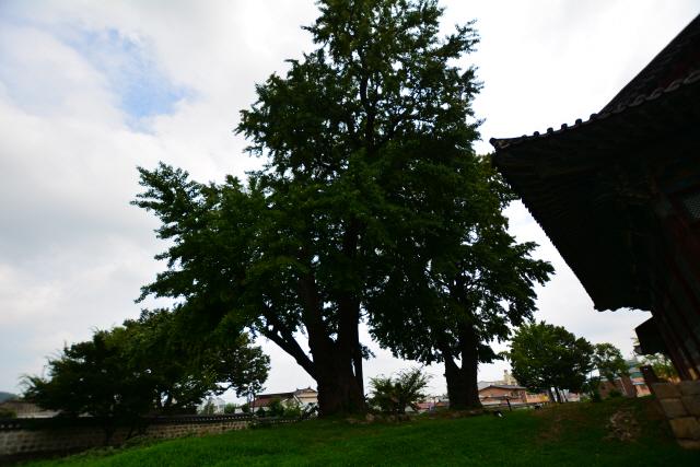 [오색인문학] 650살 은행나무에서 성리학의 향기가...