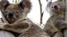 '호주의 상징' 코알라, 성병 만연으로 종 보존에 심각한 위기