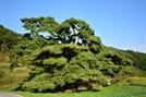 [오색인문학] '할배' 그리운듯...400살 '할매소나무' 시름시름