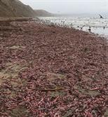 """개불이 왜 미국 해변에 쏟아져…BBC """"한국의 진미"""" 깜짝 설명"""