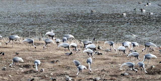 한탄강서 겨울나는 철새들
