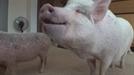 'TV 동물농장' 핑크 돼지와 마성의 냥이, 그리고 원수가 된 단짝 람n딩가