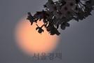 벚꽃과 '핑크 슈퍼문'의 달빛