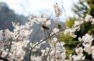 [공감]꽃놀이 가지 않고도 봄꽃과 노는 법