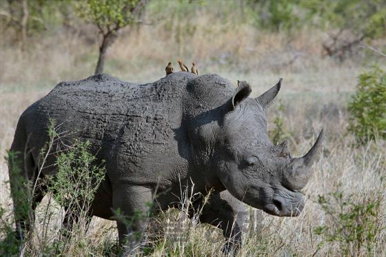 [이슈 후벼파기] 코로나는 회색 코뿔소의 습격이다