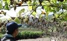 [사진] 장마 이어 폭염…타들어가는 農心