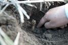 인삼 재배·약용 문화…농경 최초 '무형문화재'로