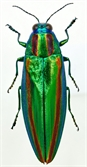 보석인줄 알았더니....신라시대 말 장신구가 비단벌레 날개였다고?