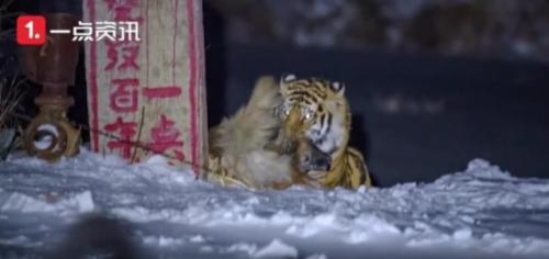 마을까지 내려온 개 덮치는 호랑이…中에서 실재하는 '호환'