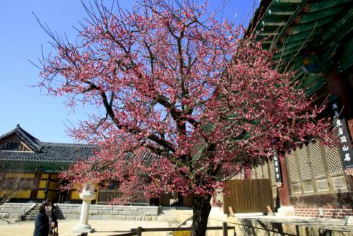 [休] 오梅!...남녘엔 봄이 터진다