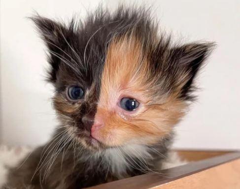 반으로 나눈 얼굴색 '키메라 고양이'의 숨겨진 비밀