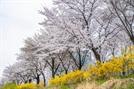 꽃중년, 꽃나들이 집 앞에서 벚꽃 봄 어때?