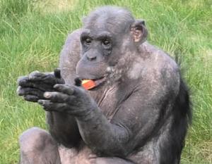 [영상]'다시 만나서 반가워' 英 봉쇄 완화에 침팬지도 관광객 '격한 환영'