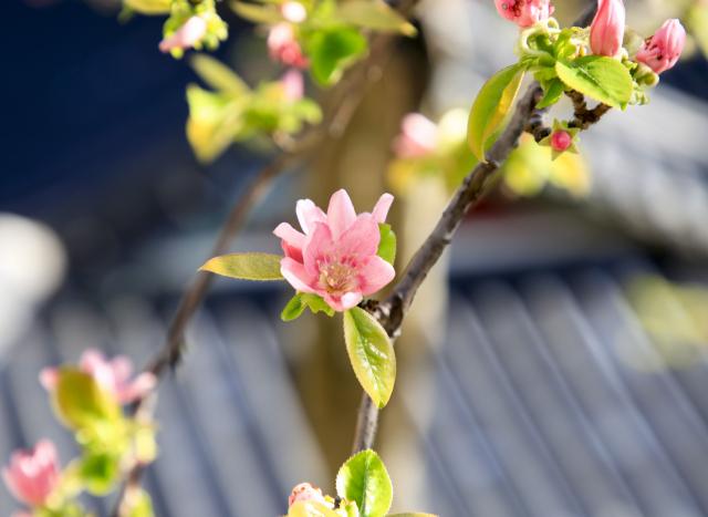 [休]핑크빛이 '칠'렁…봄 '곡'간이 넘실
