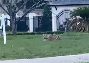 """[영상] """"범 내려왔다"""" 美 애완 호랑이 산책하다가…"""