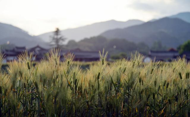 [休-'청보리 품은 한옥마을 ' 함양] 고택의 살결…초록의 물결…그리고 치유의 숨결