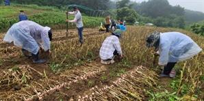 육쪽마늘 수확 돕는 공무원들