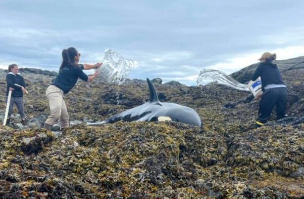 [영상] 6시간 동안 바위에 낀 범고래… 양동이로 살린 사람들