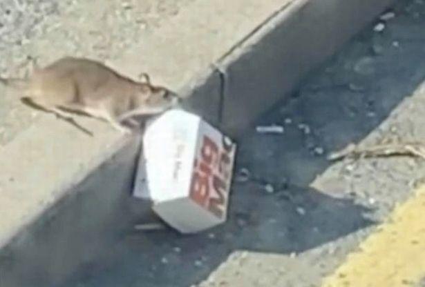 [영상]  '빅맥 들고 튀어라' 도로 한복판 질주한 '영국 쥐'